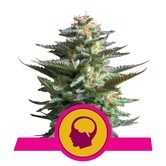 Amnesia Haze (Royal Queen Seeds) feminizada