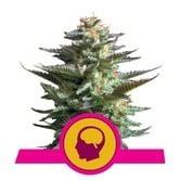Amnesia Haze (Royal Queen Seeds) feminizada
