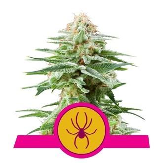 White Widow (Royal Queen Seeds) feminizada