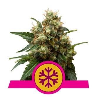 Ice (Royal Queen Seeds) feminizada