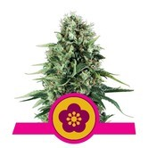 Power Flower (Royal Queen Seeds) feminizada