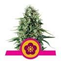 Power Flower (Royal Queen Seeds) feminizada
