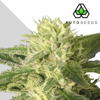 Auto 1 (Auto Seeds) feminizada