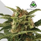 Auto Pounder (Auto Seeds) feminizada