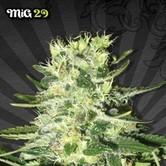 Mig 29 (Auto Seeds) feminizada