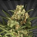 Pineapple Punch (Auto Seeds) feminizada