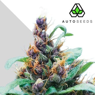 Purple Stilton (Auto Seeds) feminizada