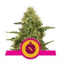 Northern Light (Royal Queen Seeds) feminizada