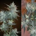 L.A. Ultra (Resin Seeds) feminizada