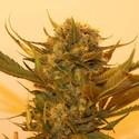 Sour P (Resin Seeds) feminizada
