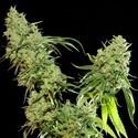 Cannatonic (Resin Seeds) feminizada