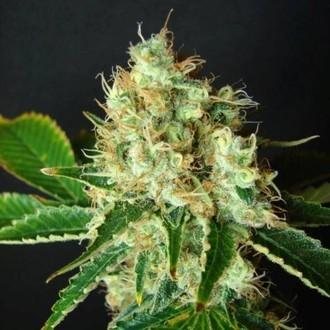 Bubblicious (Resin Seeds) feminizada
