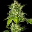 Autoflower Haze (Bulldog Seeds) feminizada