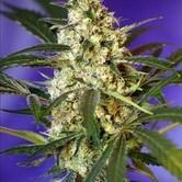 Fast Bud 1 (Sweet Seeds) feminizada