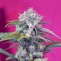 Cream Mandarine Auto (Sweet Seeds) feminizada