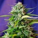 Jack 47 Auto (Sweet Seeds) feminizada