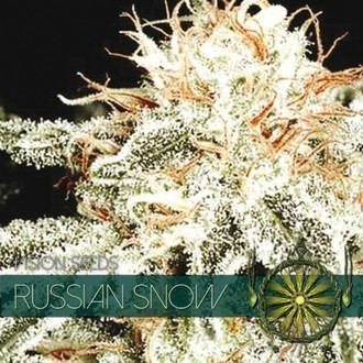 Russian Snow (Vision Seeds) feminizada