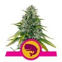 Royal Moby (Royal Queen Seeds) feminizada