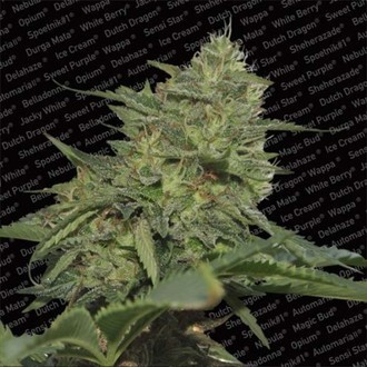 Original Cheese (Paradise Seeds) feminizada