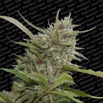 Auto Whiteberry (Paradise Seeds) feminizada