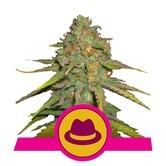 O.G. Kush (Royal Queen Seeds) feminizada