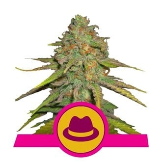 OG Kush (Royal Queen Seeds) feminizada