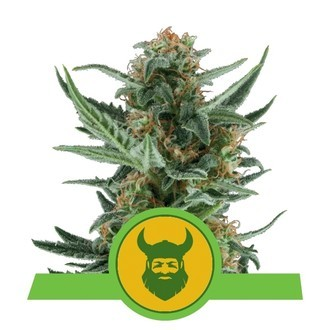 Royal Dwarf (Royal Queen Seeds) feminizada