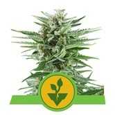 Easy Bud (Royal Queen Seeds) feminizada