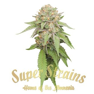 Enemy Of The State (Super Strains) feminizada