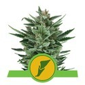 Quick One (Royal Queen Seeds) feminizada