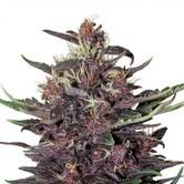 Buddha Purple Kush (Buddha Seeds) feminizada