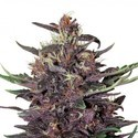 Buddha Purple Kush Auto (Buddha Seeds) feminizada