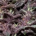 Purple Kush Auto (Buddha Seeds) feminizada