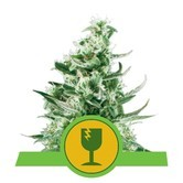 Royal Critical Automatic (Royal Queen Seeds) feminizada
