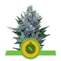 Northern Light Automatic (Royal Queen Seeds) feminizada