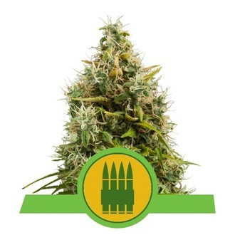Royal AK Automatic (Royal Queen Seeds) feminizada