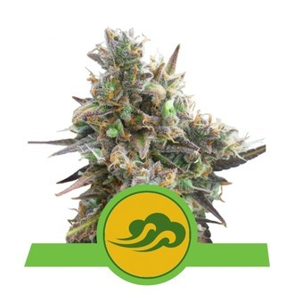 Royal Bluematic (Royal Queen Seeds) feminizada