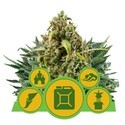 Autofloreciente Mix (Royal Queen Seeds) feminizada
