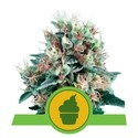 Royal Creamatic (Royal Queen Seeds) feminizada