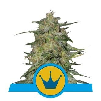 Royal Highness (Royal Queen Seeds) feminizada