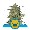 Royal Highness (Royal Queen Seeds) feminizada