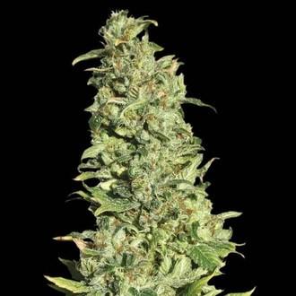 High Level (Eva Seeds) feminizada