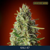 Kali 47 (Advanced Seeds) feminizada