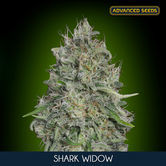 Shark Widow (Advanced Seeds) feminizada