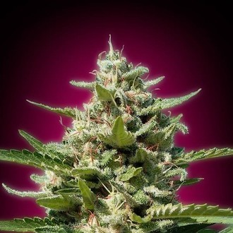 White Kush (Advanced Seeds) feminizada