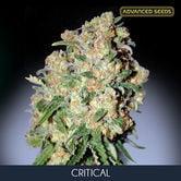 Critical (Advanced Seeds) feminizada