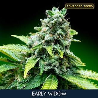 Early Widow (Advanced Seeds) feminizada