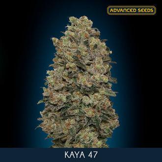Kaya 47 (Advanced Seeds) feminizada