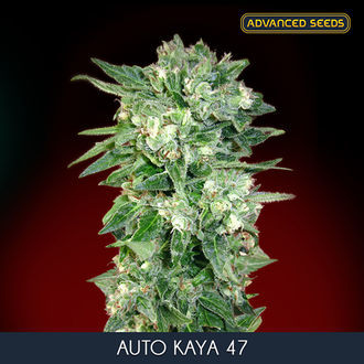 Auto Kaya 47 (Advanced Seeds) feminizadas