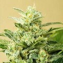 Auto Low Girl (Advanced Seeds) feminizada